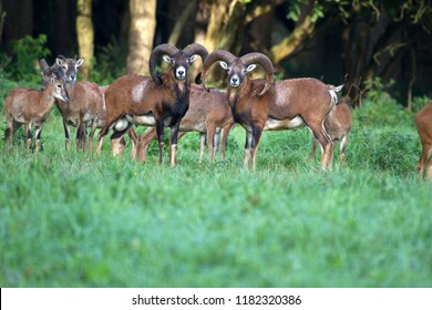 Lelystad, the Netherlands- September 17, 2018: group of mouflons in the Lelystad Nature Park, the Netherlands