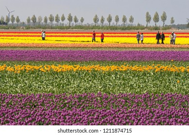 LELYSTAD,THE NETHERLANDS- APRIL 19TH 2009 -Tourists are walking through the colorful Dutch tulip fields which are a main tourist attraction in Holland