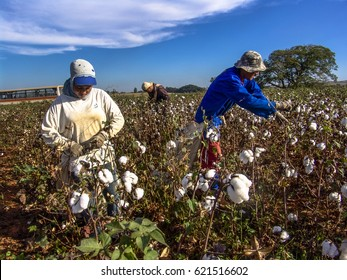 Leme, Sao Paulo, Brazil, May 10, 2005. Worker makes manual cotton harvesting on a plantation in the municipality of Leme