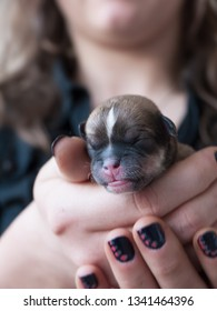 LEMMER, THE NETHERLANDS - MARCH 10 2019 - Woman with black lacquered nails holds a newborn puppy with closed eyes in her hands