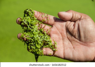Lemna minor, the common duckweed or lesser duckweed, is an aquatic freshwater plant of the genus Lemna. They belong to the family of Lemnaceae, which are monophyletic to the family Araceae.
