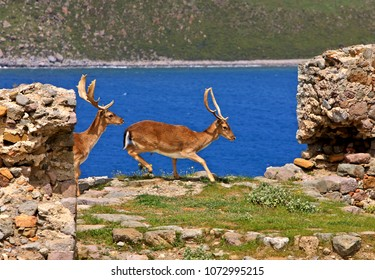 LEMNOS ISLAND, NORTH AEGEAN, GREECE. Deer in the castle of Myrina, capital town of the island.