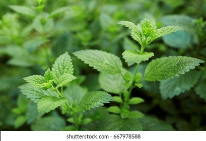 Lemon balm growing in the garden.