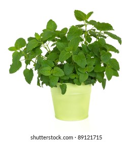 Lemon balm herb plant in a green metal pot isolated over white background. Melissa officinalis. Alternative remedy as a repellent for mosquitoes.