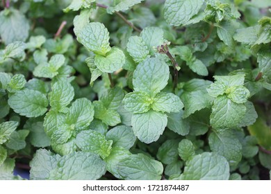 Lemon balm  ,It grows to a maximum height of 70–150 cm (28–59 in). The leaves have a mild lemon scent similar to mint. During summer, small whiteflowers full of nectar appear.
