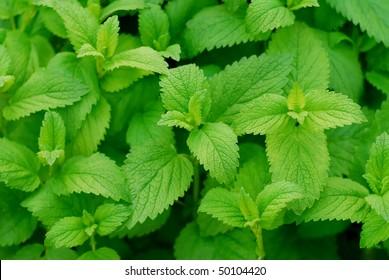 Lemon Balm leaves