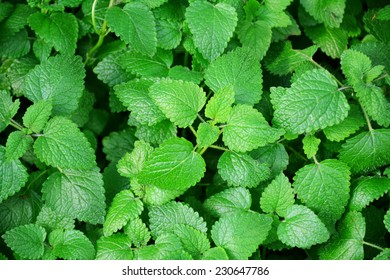 Lemon balm leaves, melissa officinalis.