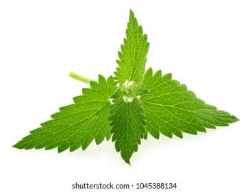 Lemon balm melissa leaf isolated on white
