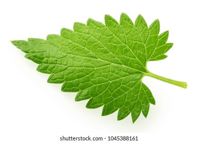 Lemon balm melissa leaf isolated on white