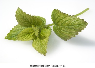 lemon balm; Melissa officinalis