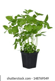 Lemon balm (Melissa officinalis). Balm mint sprout in flower pot.