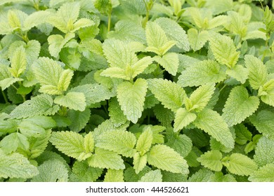 The lemon balm (Melissa officinalis) is a native of the eastern Mediterranean plant from the family of the (Lamiaceae). She was voted medicinal plant of the year 1988th