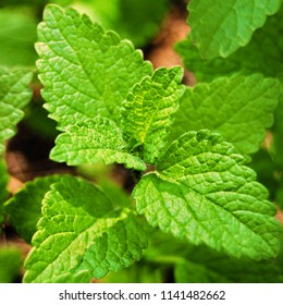 Lemon Balm plant close up, Melissa officinalis, Melissa plant close up growing in the wild