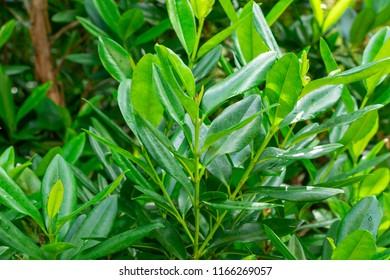 Lemon Bay Rum Tree (pimenta racemosa var. citrfolia) leaves - Davie, Florida, USA