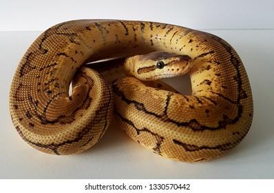 A lemon blast royal python snake, ball python reptile pet