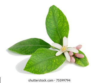 Lemon branch, flower, buds, leaves.  Isolated on a white background.