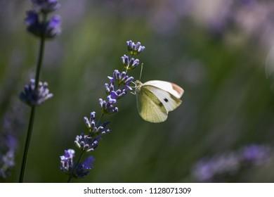Lemon butterflies on lavender