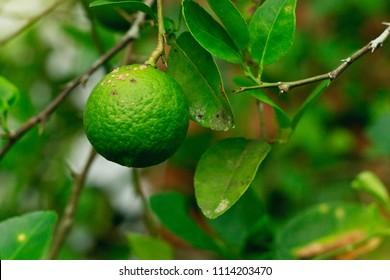 lemon citrus canker disease causes by Xanthomonas axonopodis bacteria fruit lime