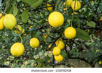 Lemon (Citrus limon) in orchard, Abkhazia