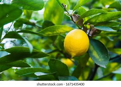 Lemon close up on the lemon tree
