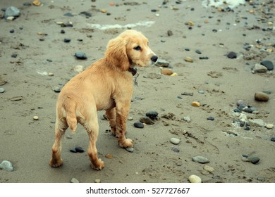 Lemon Cocker Spaniel Seaside