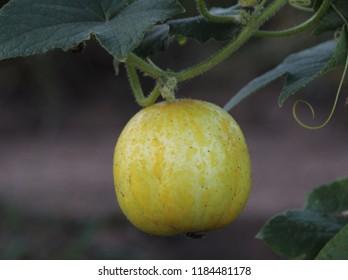 Lemon Cucumber on Vine