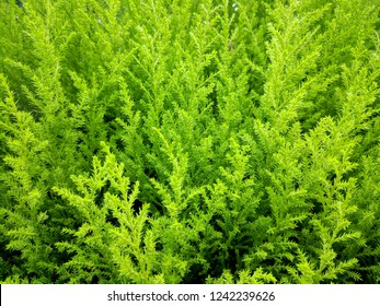 Lemon cypress as background/texture