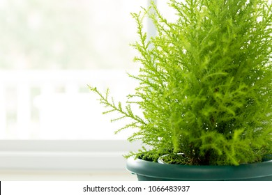 Lemon Cypress plant in green pot next to window