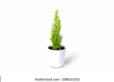 Lemon Cypress plant on white background
