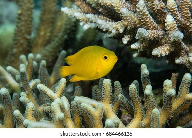 Lemon Damselfish (Pomacentrus moluccensis) on a coral reef