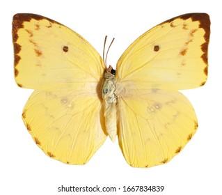 The Lemon Emigrant, Catopsilia pomona, butterfly isolated on white background.