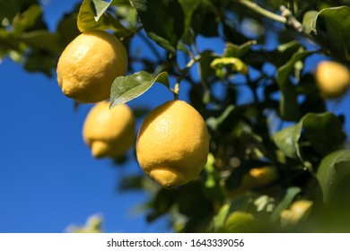 "Lemon field in Syracuse, cultivar ""femminello""IGP"