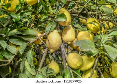 Lemon fields of lemon, Citrus limon, is a species of small evergreen tree in the flowering plant family Rutaceae