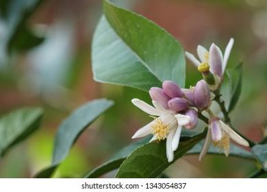 Lemon flower or Citrus × limon