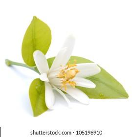 Lemon flower on white ground