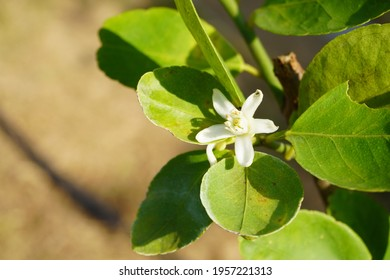 Lemon flowers can be produced as a single flower or a bouquet. There are both perfect and imperfect flowers. The flowers will leave the axillary area and the end of the branches.