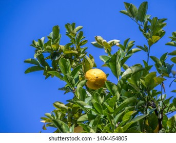 A lemon with a fly sunning itself on it hangs in a tree with green leaves isolated against a crisp blue sky image with copy space