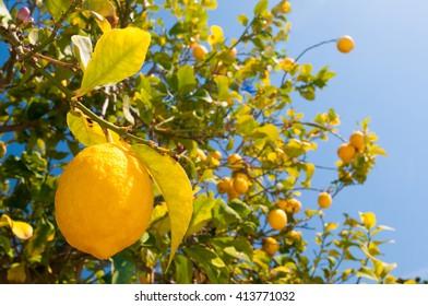 Lemon fruits on tree during picking time
