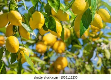 Lemon garden in Italian Amalfi coast ready for harvest. Bunches of fresh yellow ripe lemons with green leaves.