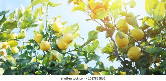 Lemon garden, summer background