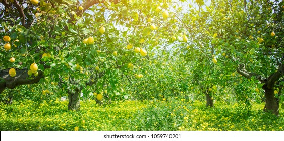 Lemon garden, summer background