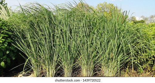 Lemon grass (Cymbopogon citratus) produces strong citrus odor when being crushed which drives mosquitoes away. It has vibrant green leaves and delightful grassy texture to add interest to a garden.