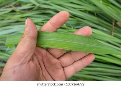 lemon grass lemon grass in hand Scientific name Cymbopogon citratus.