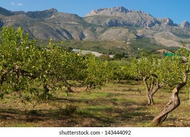 Lemon grove against the background of a sunny Mediterranean landscape