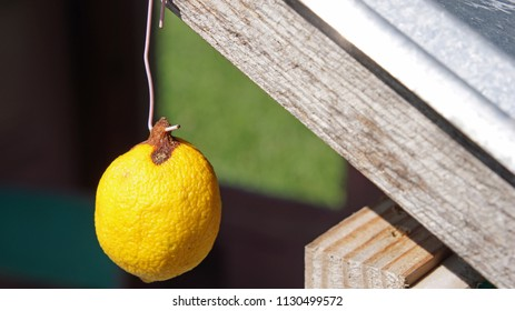 Lemon hanging from a hook