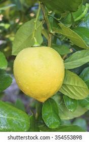 lemon hanging on lemons tree.