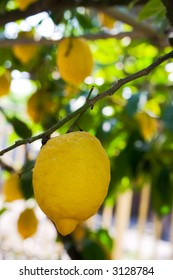 Lemon hanging on a tree in Sorrento, Italy