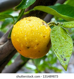 Lemon hanging from the tree branch