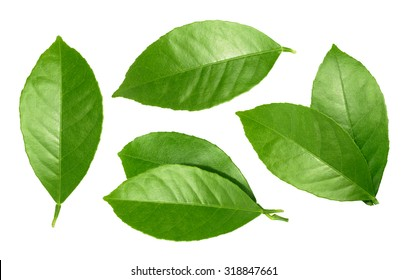 Lemon leaf isolated on white background