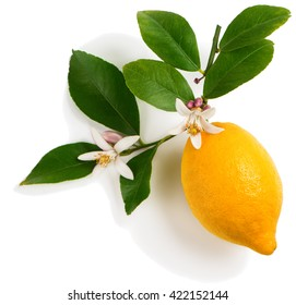 Lemon with leaves and blossom isolated on a white background.